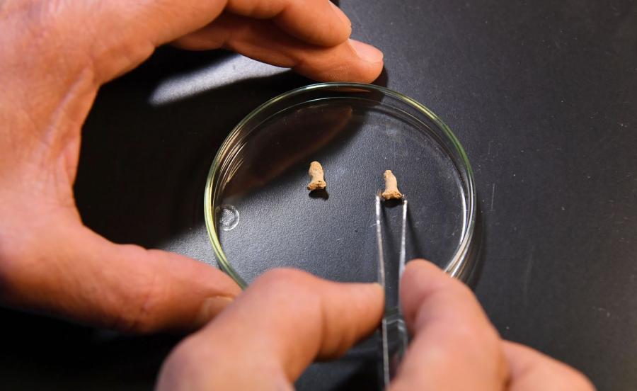 Paliczki najstarszego w Polsce neandertalczyka
