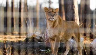 Lwica na wybiegu zoo w Poznaniu