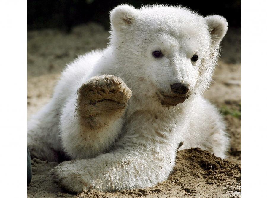 23 marca 2007: dzień, w którym Knut po raz pierwszy został pokazany gościom berlińskiego zoo