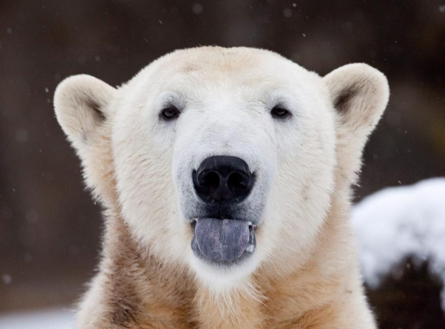 Knut pokazuje język fotoreporterowi w grudniu 2009 roku