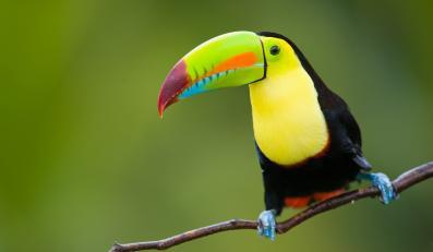 Kostaryka, tukan tęczodzioby