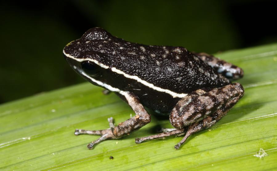 Amazońska trująca żaba (Ameerega hahneli)