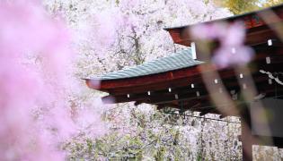 JAPONIA – Kraj kwitnących wiśni